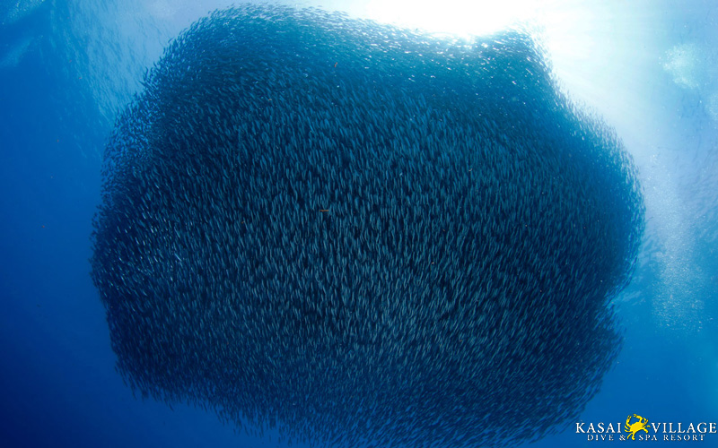 Sardine run of Moalboal